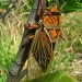 Orange and black marked cicada on tree branch with part of a green leaf underneath.