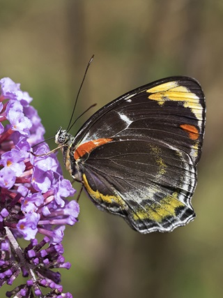 Side profile of predominantly black butterfly with red, yellow and white markings on the outer wing sitting on a purple flower.