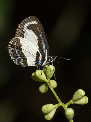 Side profile of the green-banded butterfly that is predominantly white with dark brown and blue markings on green unopened blossoms.