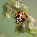 Pale red ladybird beetle with black spots on green plant.