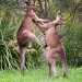 Two eastern grey kangaroos standing on green grass facing each other fighting with hind legs of one kicking into the belly of the other.