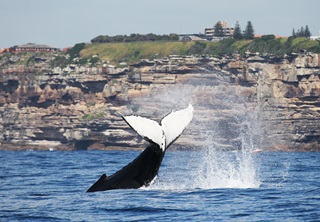 Black and white tail of humpback whale sticking up out of water with water spray around it and sandstone cliff in the background with trees and houses on it.
