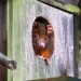 Brown-faced ring-tailed possum peeping out of round hole in wooden nest with its two front paws resting on edge of hole.