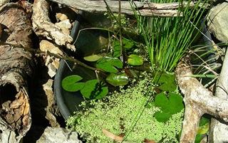 An old wheelbarrow nestled between large dead tree branches and rocks has been turned into a frog pond with native plants and water lillies growing on the water surface.