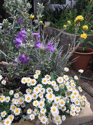 Pots and plants in a garden including white paper daisies, plants with purple and yellow flowers, and a retaining wall and pot in the background.