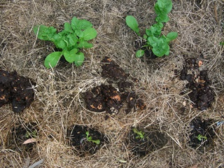 Part of a vegetable patch showing compost on soil, mulch and lettuce growing.