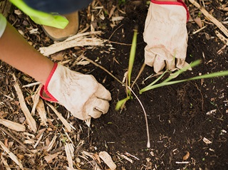 Image of a pair of hands in gardening gloves planting in rich dark soil.