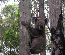 Volunteers invited to compete in local tree planting project to save koalas