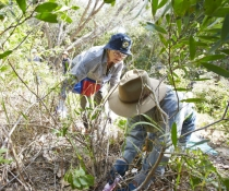 Volunteers, bush regeneration, South Smoky Beach