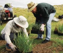 Volunteers planting Lomandra longifolia and native rosemary as part of a vegetation rehabilition project