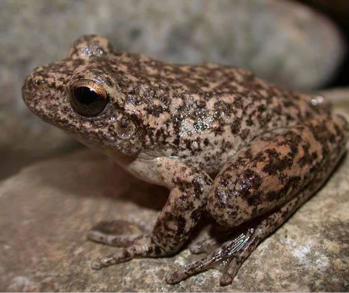 Endangered Booroolong frog