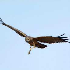 Spotted harrier, listed as vulnerable, in full flight