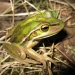 A green and golden bell frog (Litoria aurea)