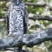 A speckled grey owl sitting on a branch