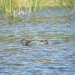 Musk duck, Biziura lobata, paddling on the surface of Lake Werri Berri in 2008 with the leathery lobe of skin below its bill expanded.