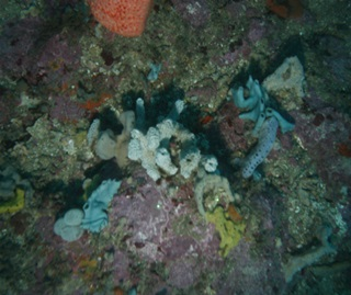 Sponges on the seabed showing 'Erect Sponges' – branching blue and yellow and rounded orange sponge types