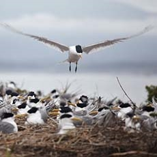 Crested terns (Thalasseus bergii), Montague Island Nature Reserve