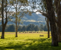 Trees, cattle, farmland in Kangaroo Valley