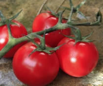 Ripe red tomatoes on the vine