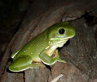 Side view of a green tree frog (Litoria caerulea) on a branch