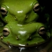Green tree frogs (Litoria caerulea)