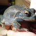 Knife-footed frog (Cyclorana cultripes)