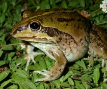 Striped burrowing frog (Litoria alboguttata)
