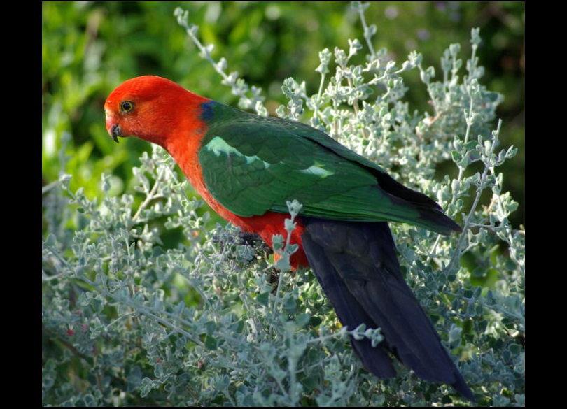 Parrots Nsw Environment Energy And Science