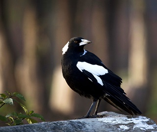 Australian magpies are known to swoop people who enter their nesting territory