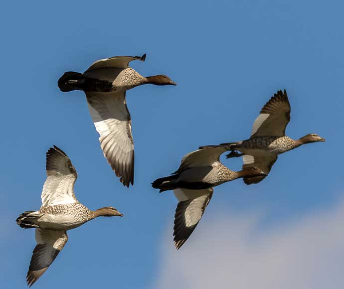 Australian wood ducks in flight over Gwydir wetlands