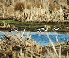 Black winged stilts (Himantopus himantopus) Gwydir Wetlands Moree bird breeding season RAMSAR Environmental Water