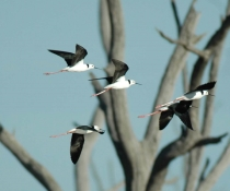 Black winged stilts (Himantopus himantopus) in flight, Gwydir Wetlands near Moree.