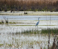 Macquarie Marshes is home to many bird species including the egret (Ardea sp)