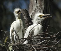 Great egret chicks (Ardea alba) in a nest in the Macquarie Marshes