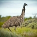 Emu (Dromaius novaehollandiae) can stand up to 2 metres tall