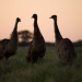 A gathering of emus (Dromaius novaehollandiae) at dusk