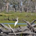 Egret (Ardea alba) resting on a log in the Redbank Wetlands