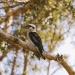 Laughing kookaburra (Dacelo novaeguineae), Little Bay, Arakoon National Park