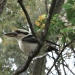 Laughing kookaburra (Dacelo novaeguineae) in native frangipani tree (Hymenosporum flavum)