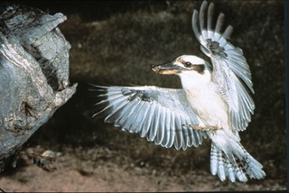 Laughing kookaburra in flight approaching nest hollow