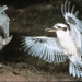 Laughing kookaburra (Dacelo novaeguineae) in flight approaching nest hollow