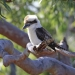 Laughing kookaburra (Dacelo novaeguineae) on Sydney red gum, Royal National Park