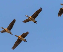 Plumed whistling duck (Dendrocygna eytoni) in flight, Gwydir wetlands