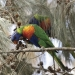Rainbow lorikeet (Trichoglossus haematodus) feeding on allocasuarina seeds