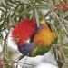 Rainbow lorikeet (Trichoglossus haematodus) feeding on bottlebrush flowers (Callistemon species)