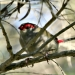 Red browed firetail (Neochmia temporalis)