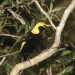 Regent bowerbird (Sericulus chrysocephalus). The male is black and golden orange and the female is fawn brown with darker flecks and bars.