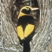 Male regent bowerbird (Sericulus chrysocephalus) in his bower