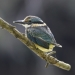 Sacred kingfisher (Todiramphus sanctus), Royal National Park