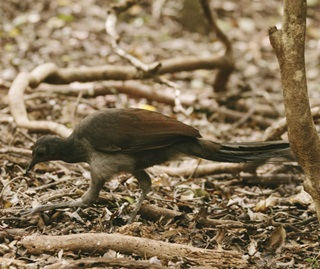 Superb lyrebird (Menura novaehollandiae), Minnamurra Rainforest